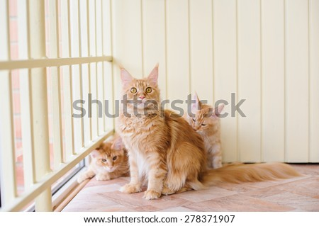 red marble maine coon cats family