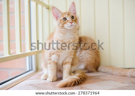 red marble maine coon kittens