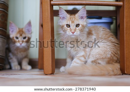 red marble maine coon kittens playing hide-and-seek - stock photo