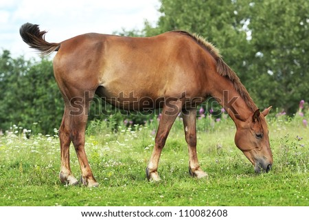 Red mare in the summer pasture - stock photo