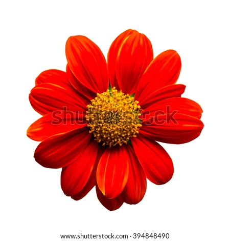 Red mexican sunflower isolated on white background - stock photo