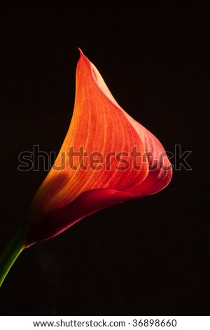 Red Mini Calla Lily - stock photo