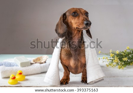 Red mini dachshund dog in studio on white wooden table on spa