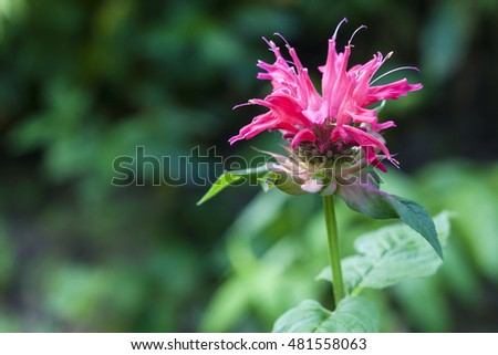 Red Monarda (Monarda didyma) flower closeup