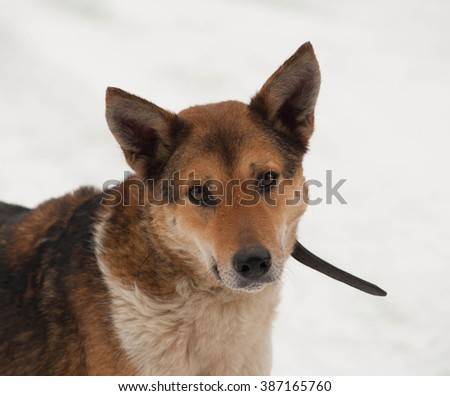 Red mongrel dog standing in white snow