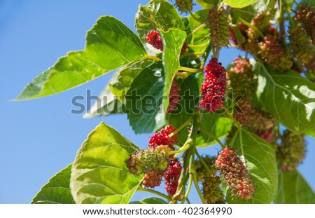 Red mulberries on the branch