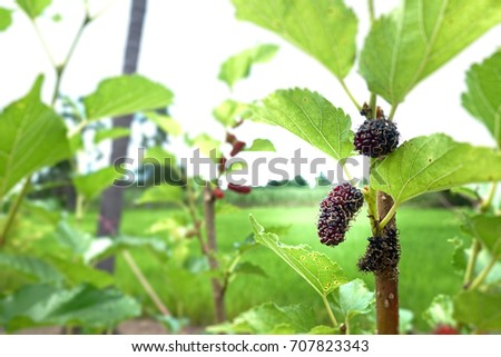 Red mulberry fruit on tree, Berry in farm.