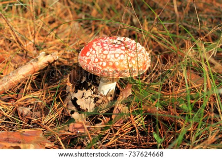 Red mushroom - amanita in the forest. Autumn concept