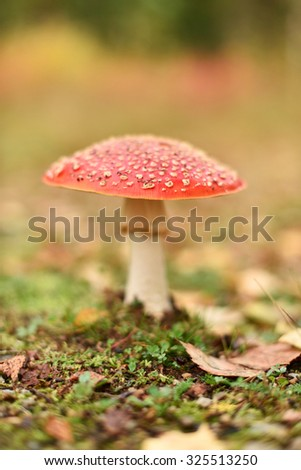 Red mushroom (Amanita Muscaria, fly agaric or fly amanita) in autumn forest