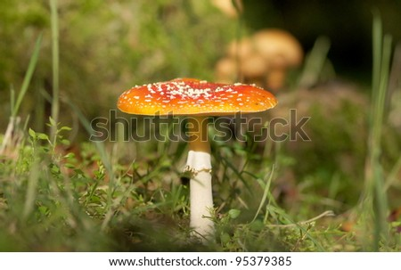 Red mushroom / toadstool in the forest