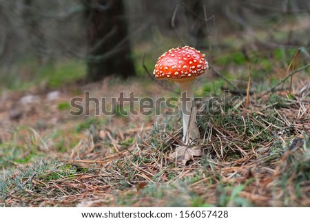 red mushroom / toadstool standing in the forest