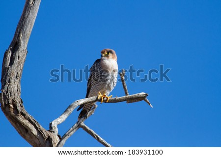 Red-necked falcon sinning on a dead branch searching for food with blue sky - stock photo