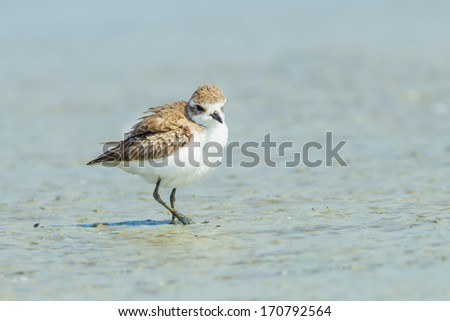 Red-necked Stint(Calidris ruficollis) spread her feather in nature - stock photo