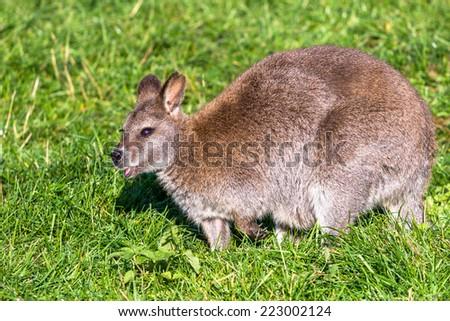 Red-necked wallaby (Bennets kangaroo) closeup - stock photo