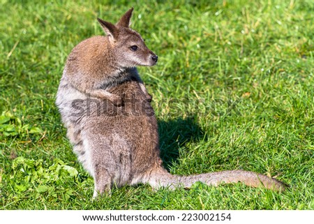 Red-necked wallaby (Bennets kangaroo) scratching back - stock photo