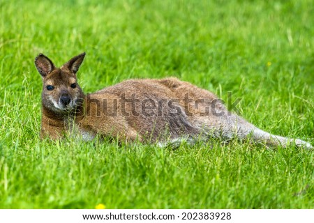 Red-necked wallaby (kangaroo) resting in the grass - stock photo