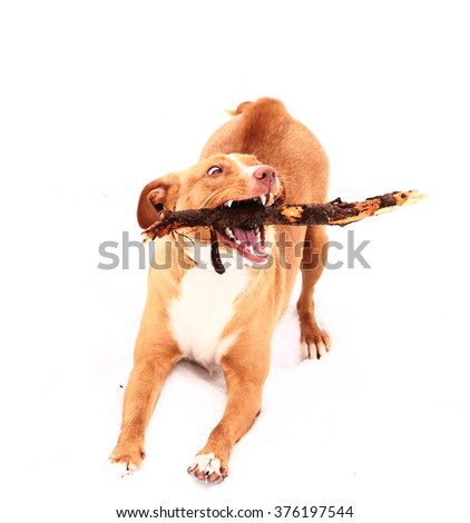 red nose terrier dog gnaw chew stick on the snow background - stock photo