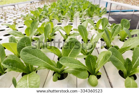 Red oak and Cos Lettuce, Hydroponics method of growing plants using mineral nutrient solutions, in water, without soil. Close up planting hand Hydroponics plant