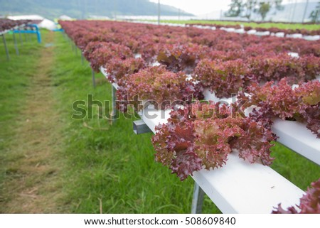 Red oak leaf lettuce in the Hydroponics Vegetable Farm