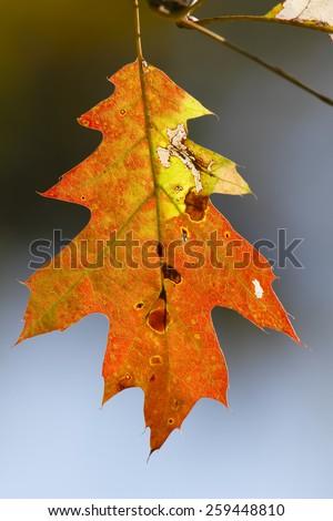 Red Oak Leaf (Quercus rubra) in Autumn - Ontario, Canada - stock photo