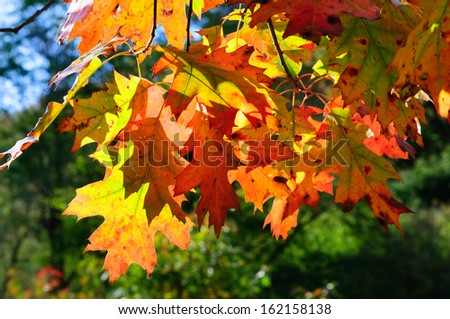 Red oak leaves - stock photo