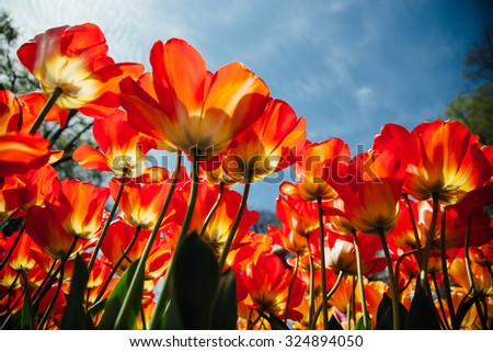 Red open tulips with sunny blue sky - stock photo