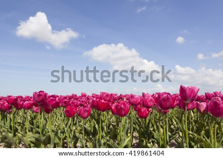 red or pink tulips in flower field with blue sky and clouds in the dutch noordoostpolder - stock photo