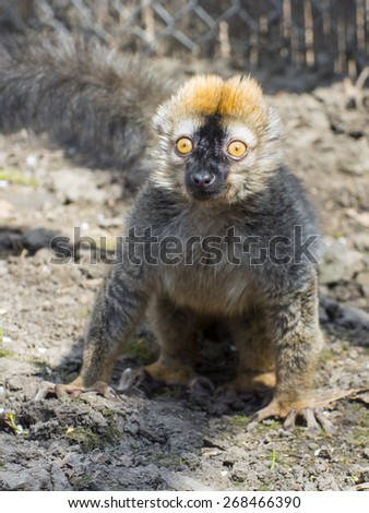 Red or rufous brown lemur (Eulemur rufus) on the ground