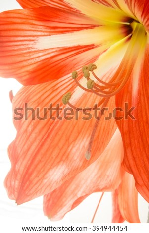 Red orange  flower petals close-up background texture - stock photo