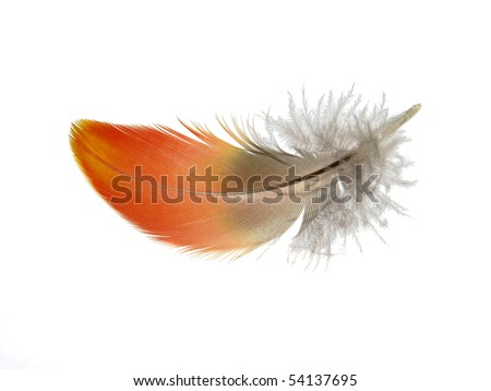 Red orange Macaw feather isolated on white background