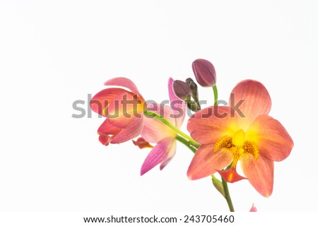Red orange Spathoglottis Plicata ground orchids and buds close up - stock photo