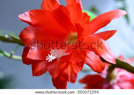 Red Orchid Cactus (Epiphyllum ackermannii) - stock photo