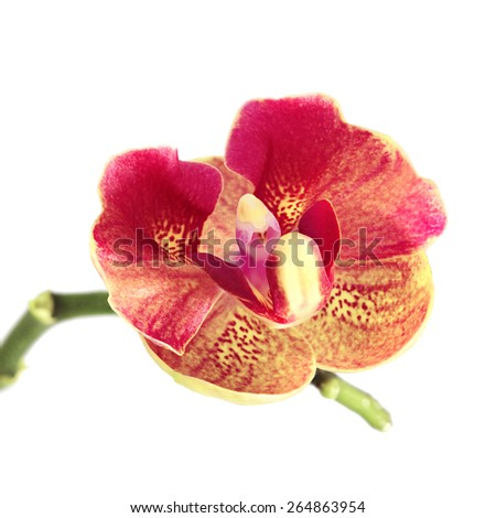 red orchid flower isolated on white background - stock photo