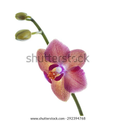 red  orchid flower with fresh buds isolated on white background - stock photo