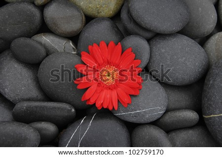 Red orchid gerbera flower on pebbles - stock photo