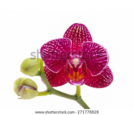 Red orchid with bud isolated on white   - stock photo