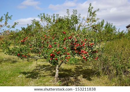 Red organic apples on trees in a orchad agriculture farm yard - stock photo