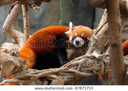 red panda - stock photo
