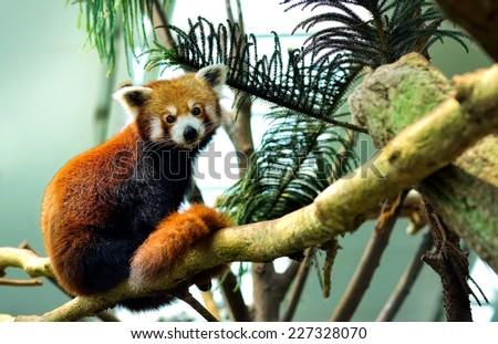 Red Panda (Ailurus fulgens) - stock photo