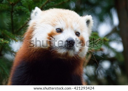 Red Panda (Ailurus fulgens) face portrait - stock photo