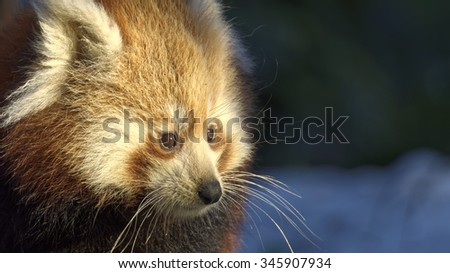 Red panda (Ailurus fulgens) portrait in snow