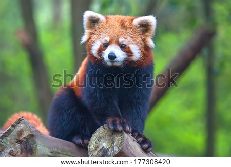 Red panda bear - stock photo