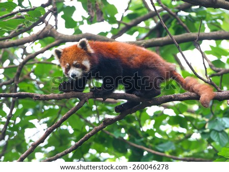 Red panda bear balancing on tree branch - stock photo