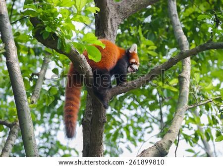 Red panda bear climbing tree - stock photo