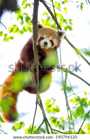 Red panda bear in tree (Ailuris fulgens) - stock photo