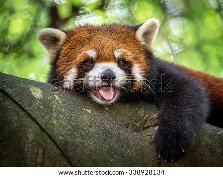 Red panda bear on tree. - stock photo