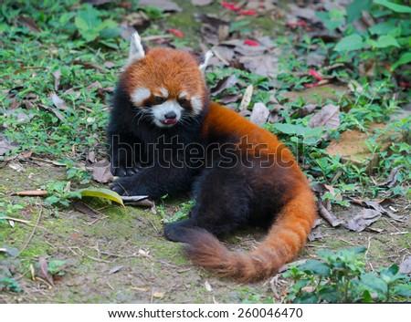 Red panda bear with beautiful long tail - stock photo