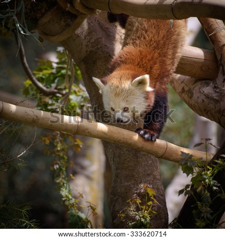Red panda climbing down the tree branch