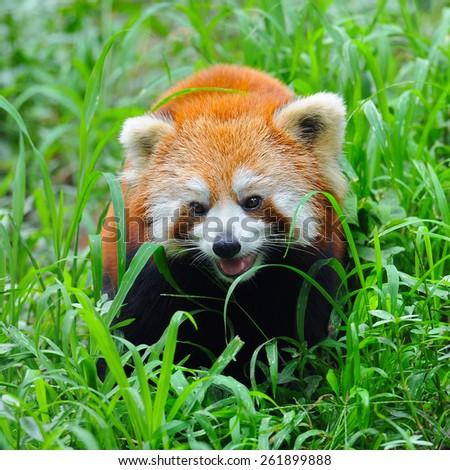 Red panda in nature - stock photo