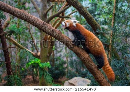red panda or red raccoon climbing tree - stock photo